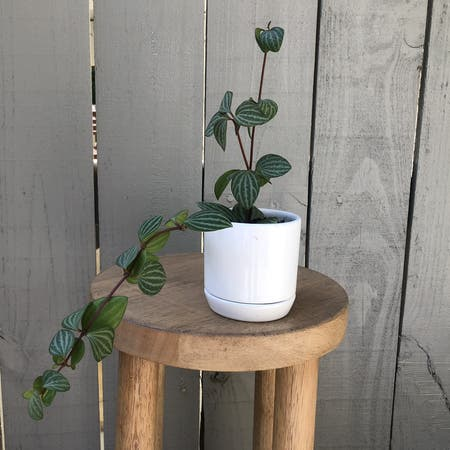 Photo of the plant species Beetle Peperomia by Vzeh93 named Beetle Peperomia on Greg, the plant care app