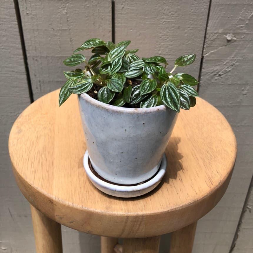 Peperomia 'Rosso' plant