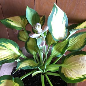 Hosta undulata plant photo by Lexynadine named Herbert on Greg, the plant care app.