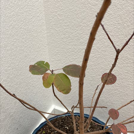 Photo of the plant species Purple Smoke Bush by Sanjay named Purple on Greg, the plant care app