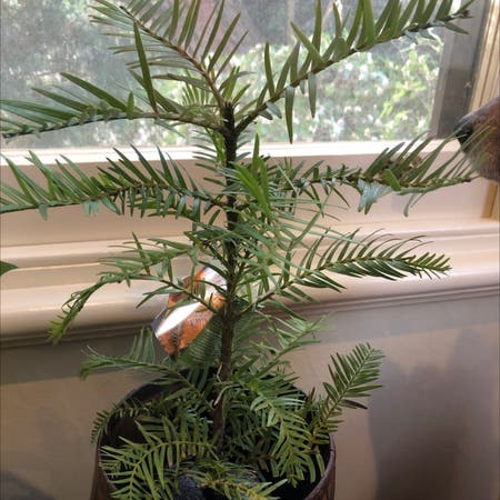 Photo of the plant species Wollemi Pine by Christine named Woolly on Greg, the plant care app