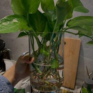 Pothos vine 'Jade Green' plant photo by 雨乔 named Oscar on Greg, the plant care app.