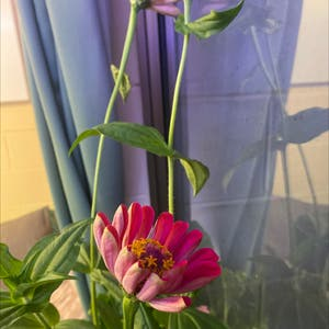 Common Zinnia plant photo by James named Zinnia on Greg, the plant care app.