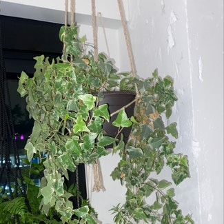 English Ivy plant in Chicago, Illinois