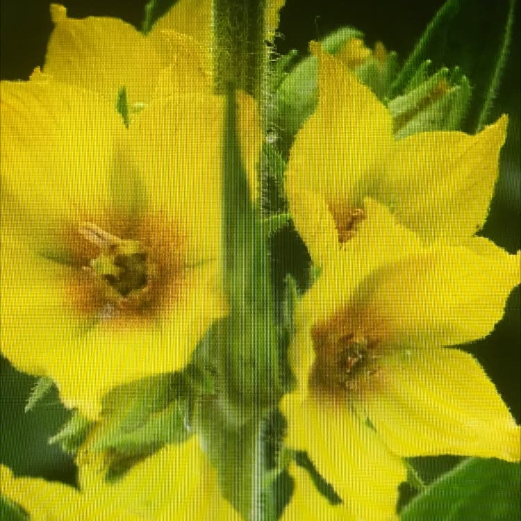 Photo of the plant species Dotted loosestrife by Tomasz named McKinley on Greg, the plant care app