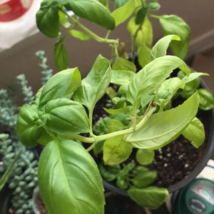 Rating of the plant Sweet Basil named Basil by Phenolphthalein on Greg, the plant care app