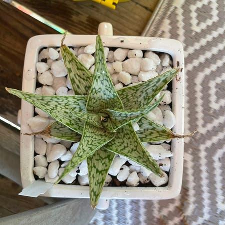 Photo of the plant species Aloe meyeri x 'Doran Black' by Gr33ng4l named Harper on Greg, the plant care app