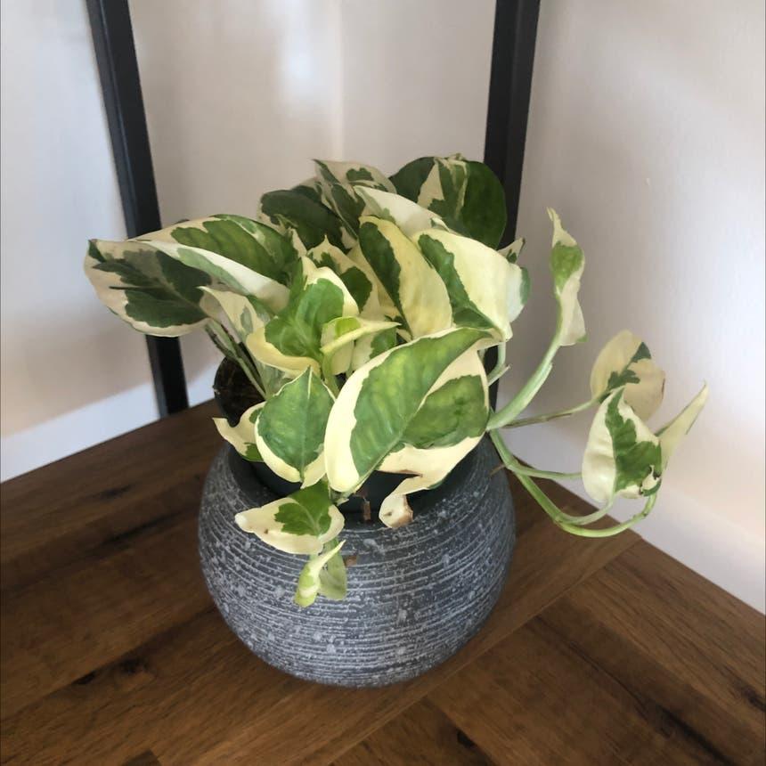 Pothos Vine N' Joy plant