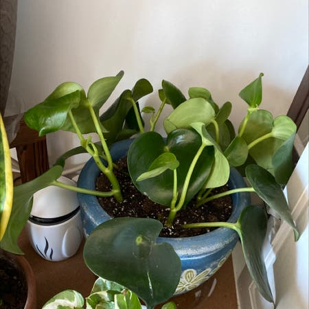 Photo of the plant species peperomia owl eye by Reneelexx named Owl on Greg, the plant care app