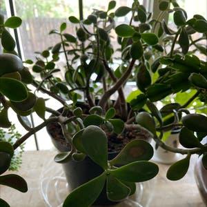 Jade plant photo by Amandasprettyplantland named Esmeralda on Greg, the plant care app.