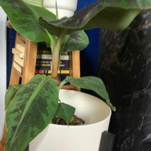 Dwarf Banana plant photo by Mo named Musa Banana Tree on Greg, the plant care app.