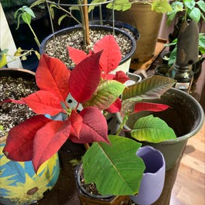 Poinsettia plant photo by Isabellem named Snipe on Greg, the plant care app.