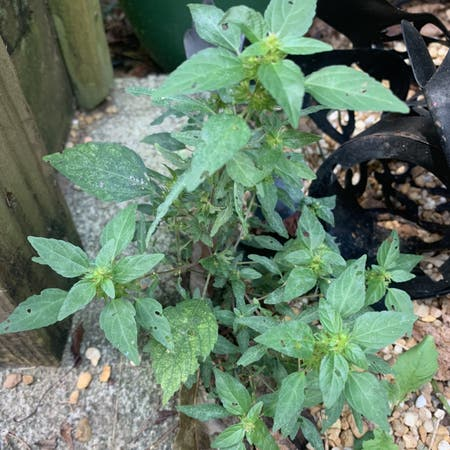 Photo of the plant species Three-Seeded-Mercury by Sereinveil named Your plant on Greg, the plant care app
