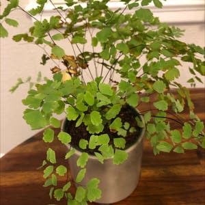 Pacific Maidenhair fern plant photo by Chung eun named Your plant on Greg, the plant care app.