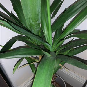 Rating of the plant Blue-Stem Yucca named Yuco by Hitlulz on Greg, the plant care app
