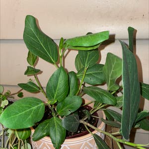 Audrey Ficus plant photo by Kristenmlang5 named Your plant on Greg, the plant care app.