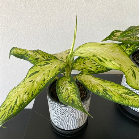 Photo of the plant species Dieffenbachia 'Star Bright' by Katkat named Chikorita on Greg, the plant care app
