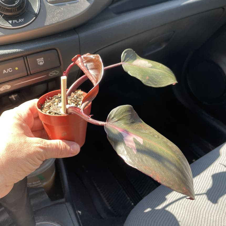 Philodendron 'Pink Princess' plant
