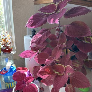 Rating of the plant Coleus named Mama Cal by Kashia on Greg, the plant care app