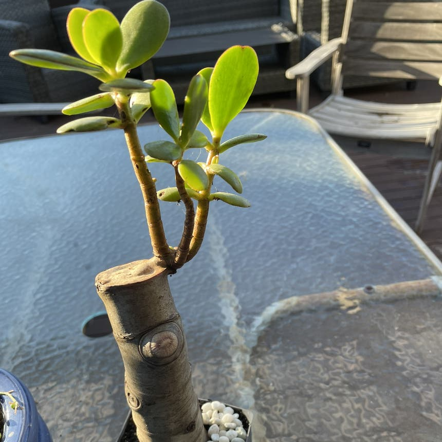 Jade plant in Auckland, Auckland