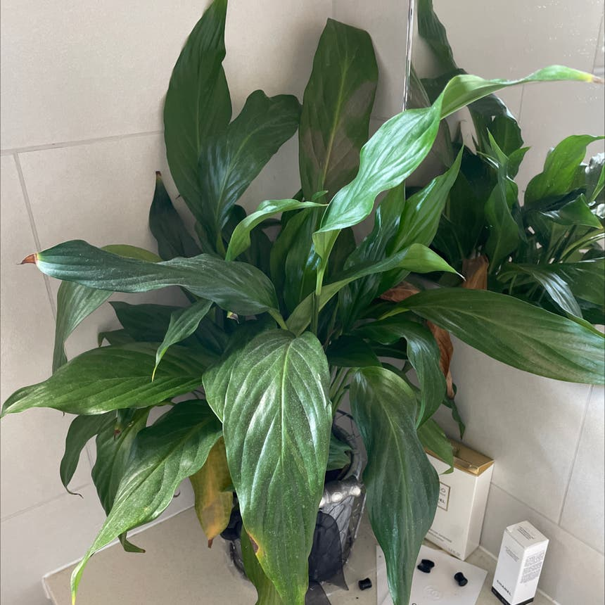 Peace Lily plant in Auckland, Auckland