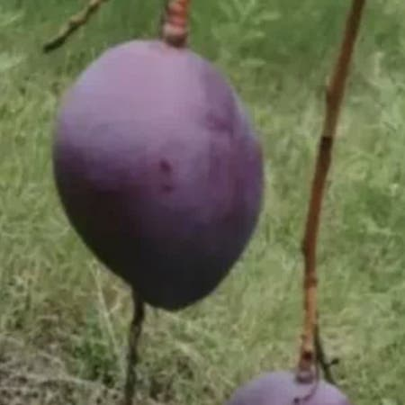 Photo of the plant species Common plum by Z named Your plant on Greg, the plant care app