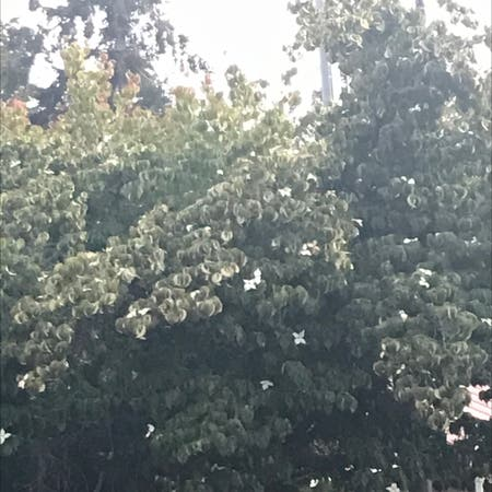 Photo of the plant species Magic Dogwood by Leawna named Your plant on Greg, the plant care app