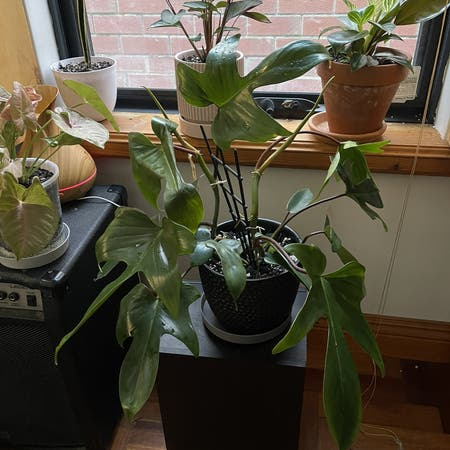 Photo of the plant species Philodendron 'Florida Green' by Kirby-rose named Orlando on Greg, the plant care app