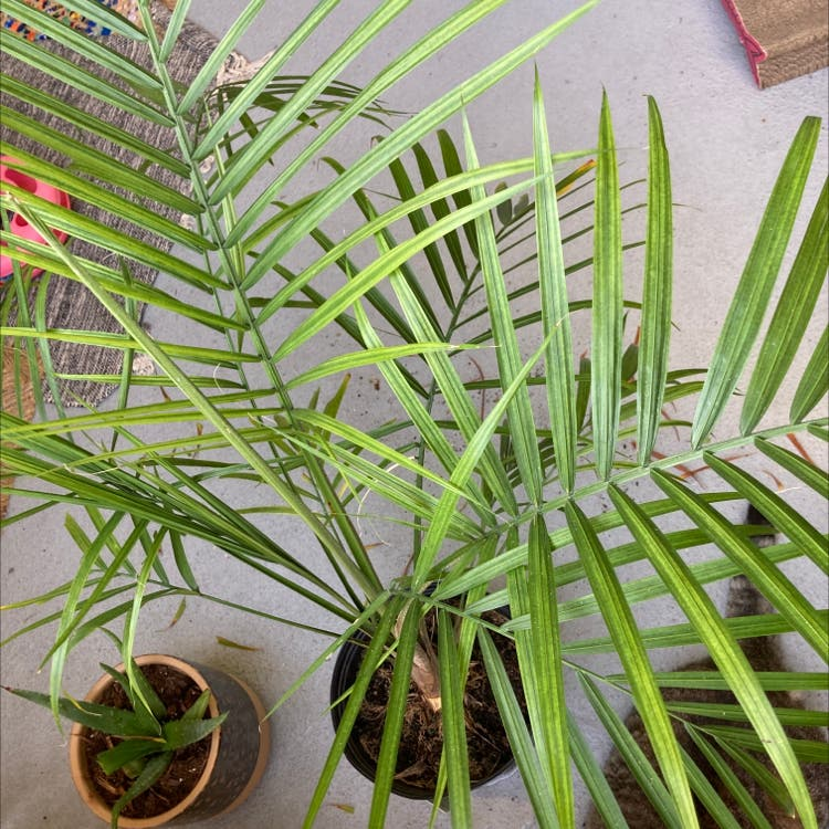 Majesty Palm plant