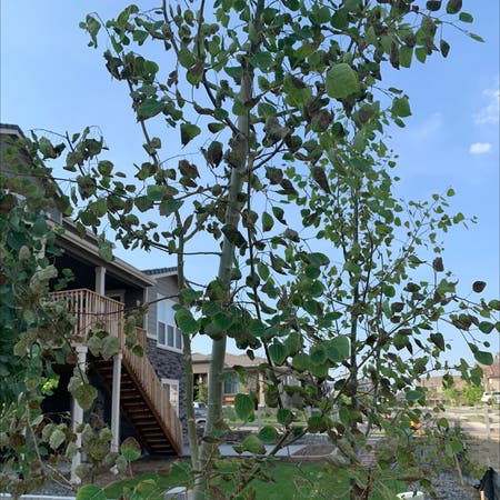 Photo of the plant species Quaking Aspen by Paige named Aspen3 on Greg, the plant care app