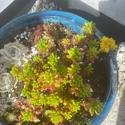 Jelly Beans plant