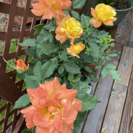 Photo of the plant species Rio Samba Rose by Missapril0011 named Your plant on Greg, the plant care app