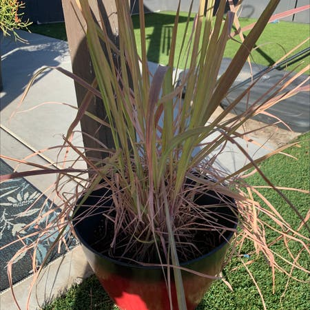 Photo of the plant species Lemon grass by Rlwx9c named Luna on Greg, the plant care app