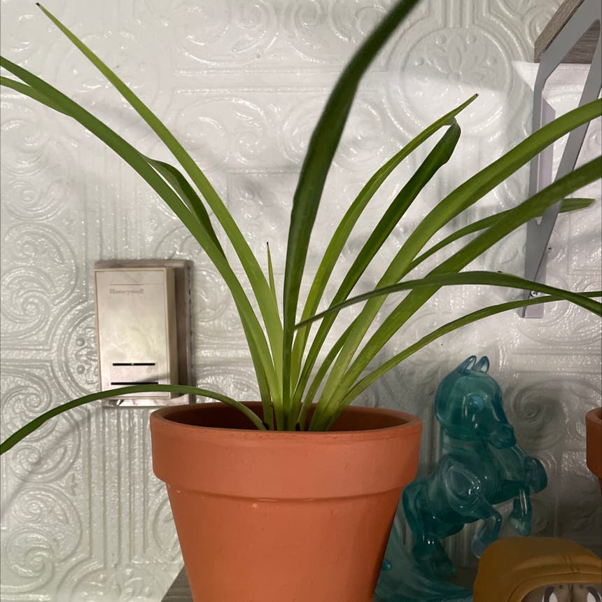 Spider Plant plant in Somewhere on Earth