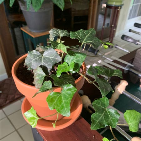 Photo of the plant species Baltic Ivy by Hyperpopboy named Megan Thee Plant on Greg, the plant care app