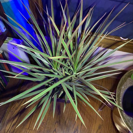 Photo of the plant species Magenta Dragon Tree by Hyperpopboy named Bigleef Smalls on Greg, the plant care app