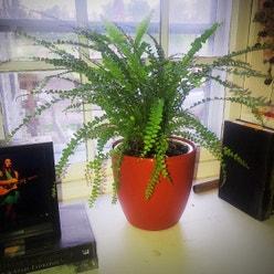 Erect Sword Fern plant