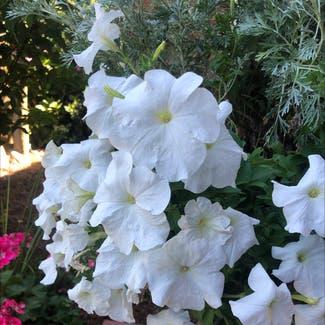 Large White Petunia plant in Charlotte, North Carolina