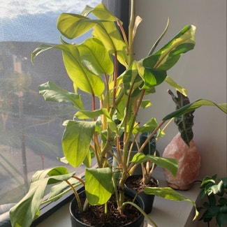 Philodendron 'Thai Sunrise' plant in Columbus, Ohio