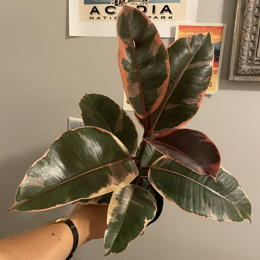 Rubber Plant plant in Bangor, Maine