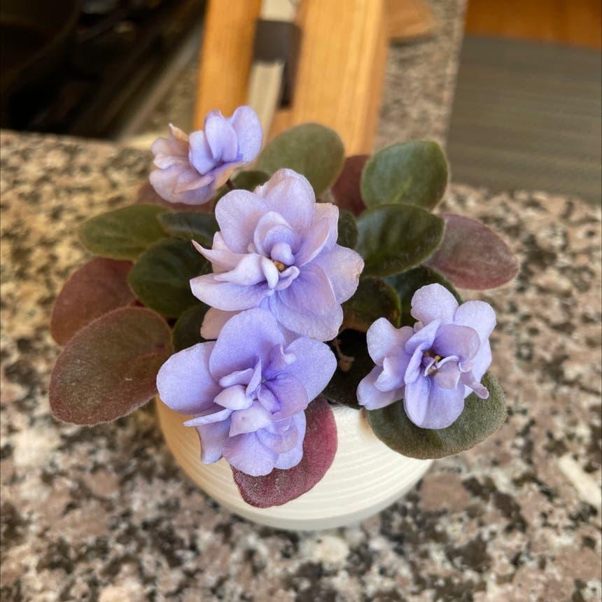 African Violet plant in Bangor, Maine
