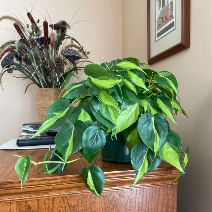 Philodendron 'Brasil' plant in Bangor, Maine