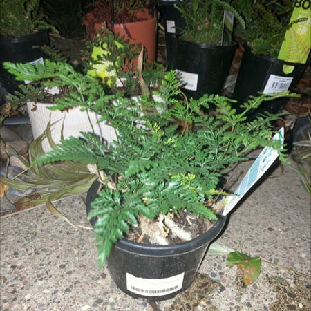 Photo of the plant species Humata - Rabbit's Foot Fern by Cheribuno named Rabbits foot on Greg, the plant care app