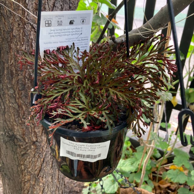 Photo of the plant species Electric Fern by Cheribuno named Eccentric on Greg, the plant care app