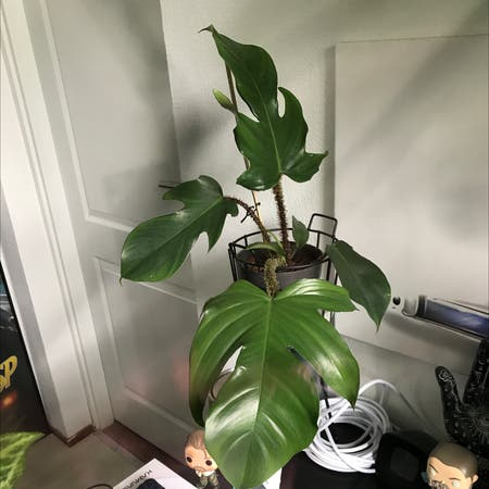 Photo of the plant species Philodendron Squamiferum by Sscrewtapee named jerry on Greg, the plant care app