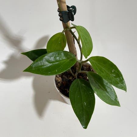 Photo of the plant species Hoya limoniaca by Norahrose named Hoya limoniaca on Greg, the plant care app