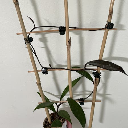 Photo of the plant species Hoya Red Buttons by Norahrose named Hoya pubicalyx 2 Red Buttons on Greg, the plant care app