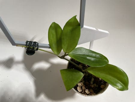 Photo of the plant species Hoya neoebudica by Norahrose named Hoya neoebudica on Greg, the plant care app