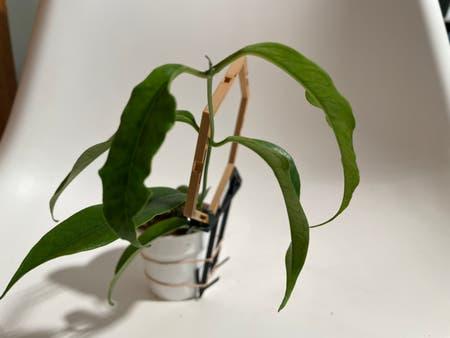 Photo of the plant species Hoya buotii by Norahrose named Hoya buotii on Greg, the plant care app