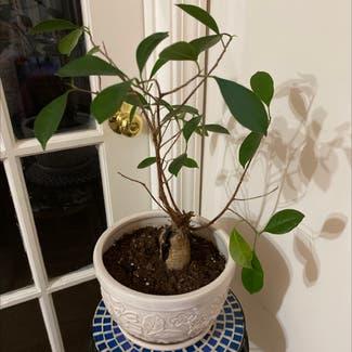 Ficus Ginseng plant in Atlanta, Georgia